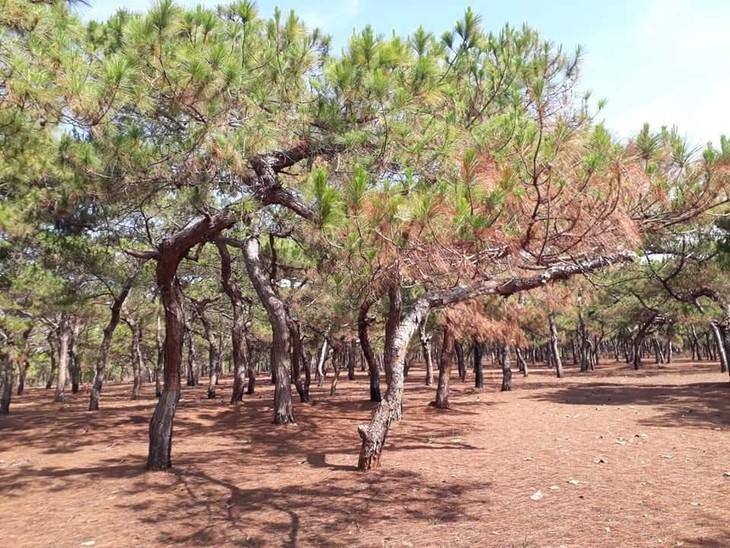 Khu đất bán đấu giá tại Đăk Đoa có 4.934 cây thông cổ thụ (ảnh minh họa)