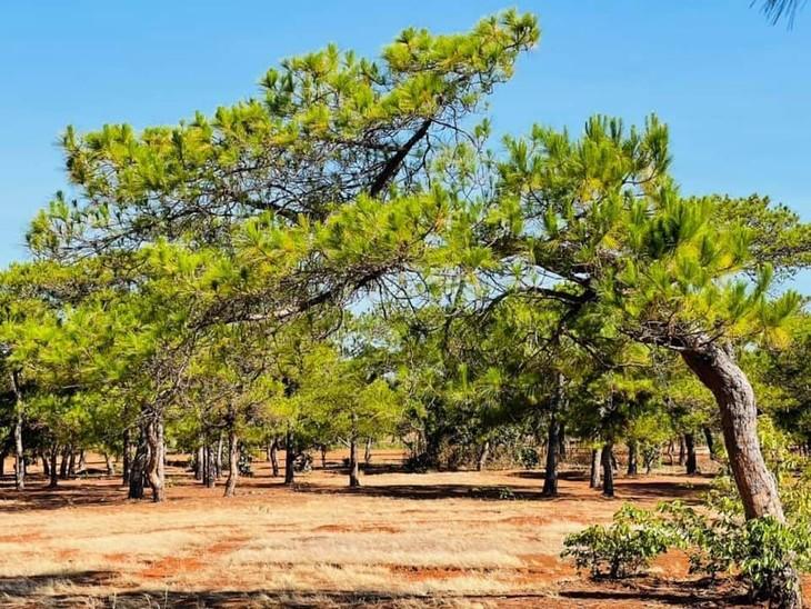 Rừng thông cổ thụ tại Đăk Đoa (ảnh internet)