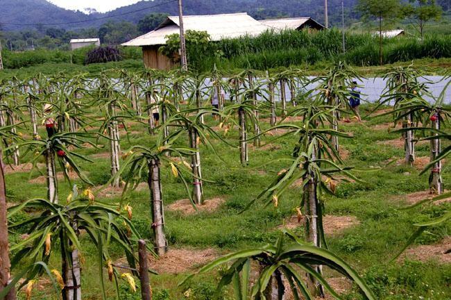 Bán đấu giá tài sản 5 tài sản bảo đảm của Ngân hàng Nông nghiệp và Phát triển nông thôn Việt Nam (Agribank) - chi nhánh huyện Tuy Phong, trong đó có 9.000 m2 tại Quốc lộ 1A đất trồng cây thanh long. (Ảnh minh họa internet)