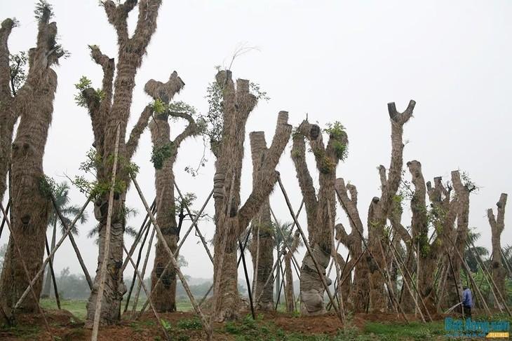 Theo đại diện của Công ty Beepro, toàn bộ số cây cổ thụ sẽ tiếp tục được theo dõi, chăm sóc và sớm bàn giao lại cho UBND TP. Hà Nội để trồng lại.