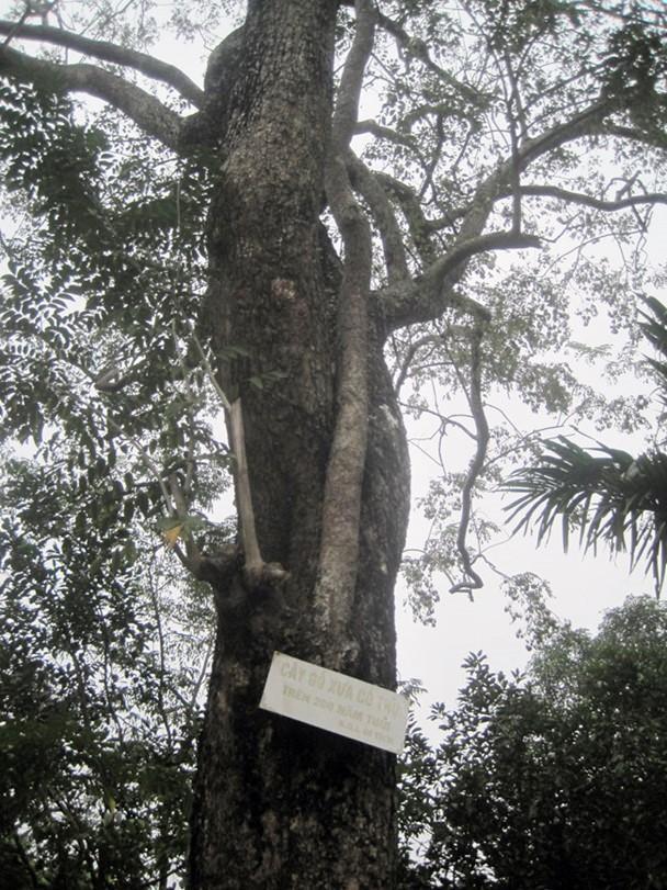 Cây sưa ở Đình làng Đông Cốc đã bị hạ giải, bán đấu giá 26 tỷ đồng.