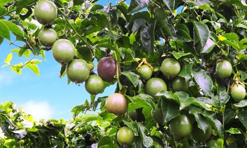HAGL đặt trọng tâm vào cây ăn trái để xoay chuyển tình hình tài chính khó khăn.