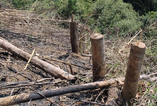 Khu vực rừng sản xuất tại các hộ dân xã Châu Phong chặt phá.