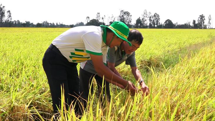 Cán bộ kỹ thuật Phân bón Phú Mỹ khảo sát tăng trưởng của lúa.