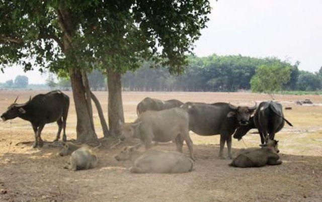 """Dự án Công viên Sài Gòn Safari bị """"đắp chiếu"""" gần 2 thập kỷ và trở thành nơi chăn thả trâu bò"""