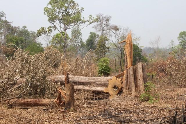 Một vụ phá rừng làm nương rẫy xảy ra trên địa bàn xã Ia O (huyện Ia Grai) trong thời gian qua