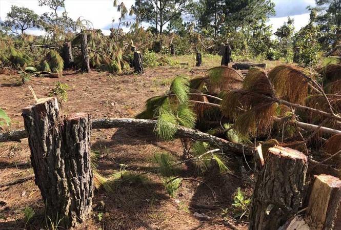 Cây rừng bị cưa hạ ngổn ngang