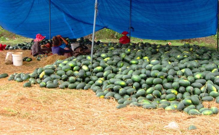 Dịch viêm phổi do virus Corona diễn biến phức tạp khiến việc tiêu thụ nhiều mặt hàng nông sản như: thanh long, dưa hấu... của Việt Nam bị ách tắc, phải bán tháo. Ảnh: st