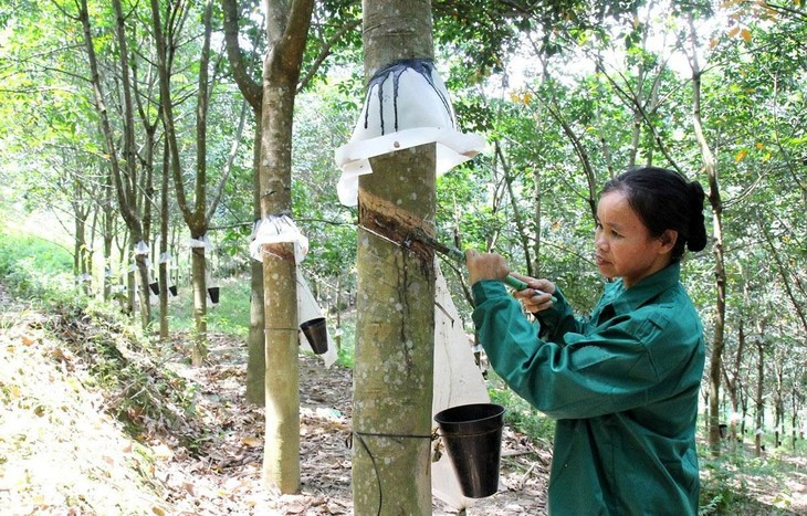 Gỗ cao su thanh lý trở thành mặt hàng hút khách trong bối cảnh gỗ rừng tự nhiên ngày càng khan hiếm. Ảnh: Đức Tưởng