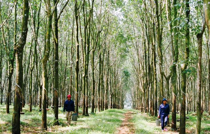 Gói thầu Mua sắm phân bón cho vườn cây cao su kinh doanh năm 2021 của Công ty TNHH MTV Cao su Quảng Trị có giá gói thầu 1,515 tỷ đồng. Ảnh minh họa: Đức Thụy