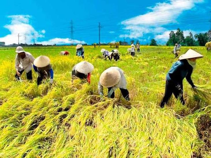 NHNN yêu cầu các NHTM có vốn nhà nước chủ động đi đầu hạ lãi suất cho vay hỗ trợ thu mua lúa gạo xuống mức 6%/năm. Ảnh minh họa: Internet