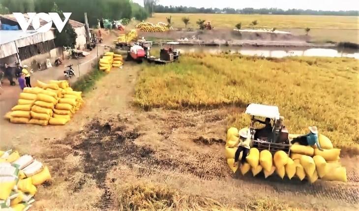 Hiện các tỉnh/thành phố khu vực Đồng bằng Sông Cửu Long đã bước vào thời điểm chính vụ thu hoạch lúa Hè Thu 2021 (ảnh: Internet)