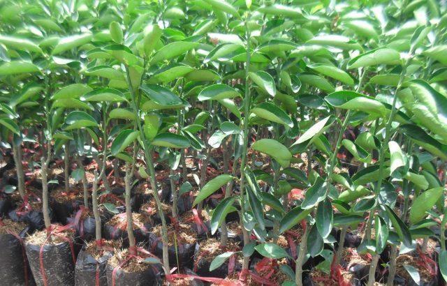 Gói thầu số 10 Cung cấp giống cây ăn quả, phân bón, thuốc bảo vệ thực vật thuộc Dự án Phương án khuyến nông năm 2021 bị phản ánh đưa ra tiêu chí hạn chế sự tham gia của nhà thầu (Ảnh minh họa: Internet)