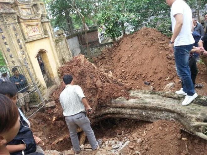Chặt hạ cây sưa bán đấu giá 24,5 tỷ ở Bắc Ninh ảnh 1