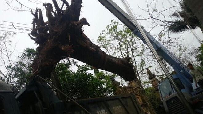 Chặt hạ cây sưa bán đấu giá 24,5 tỷ ở Bắc Ninh ảnh 2