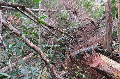Hàng chục cây gỗ quý bị đốn hạ ở Vườn quốc gia Phong Nha ảnh 1