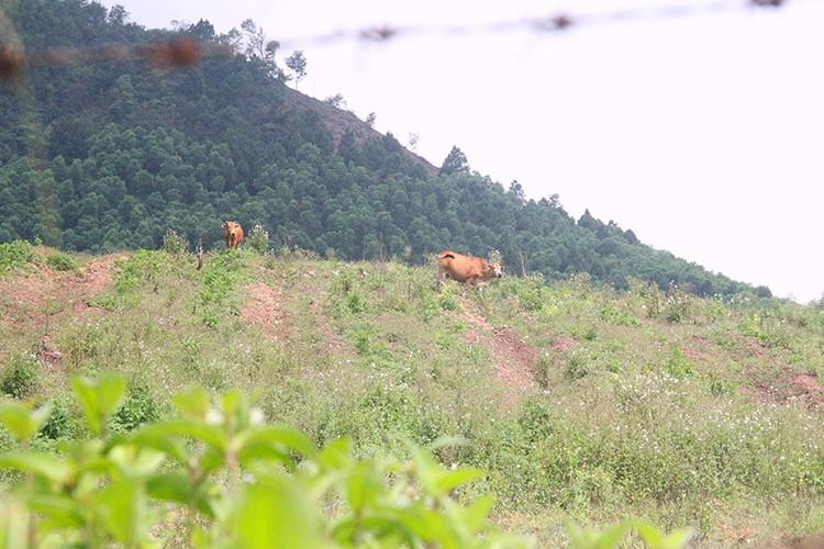 Công nhân đề xuất 'bán chuối trừ lương' ở dự án nuôi bò Bình Hà ảnh 2