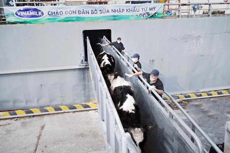 Thêm 2.100 con bò sữa từ Mỹ đã gia nhập đàn tại trang trại Vinamilk Quảng Ngãi ảnh 2