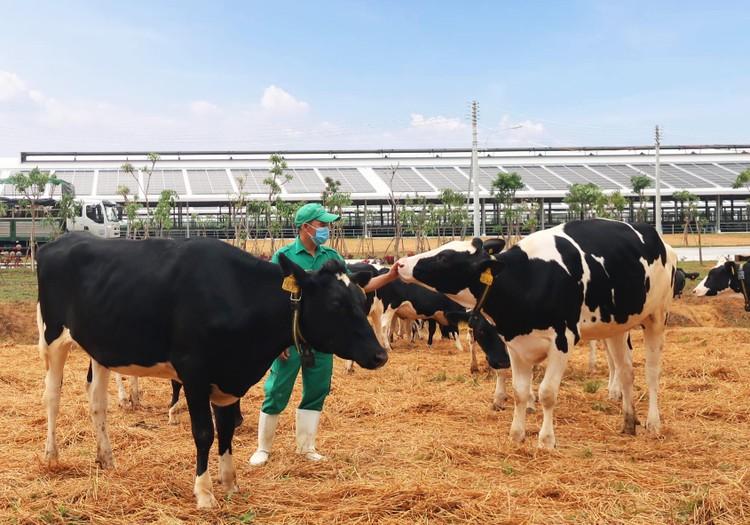 Thêm 2.100 con bò sữa từ Mỹ đã gia nhập đàn tại trang trại Vinamilk Quảng Ngãi ảnh 5