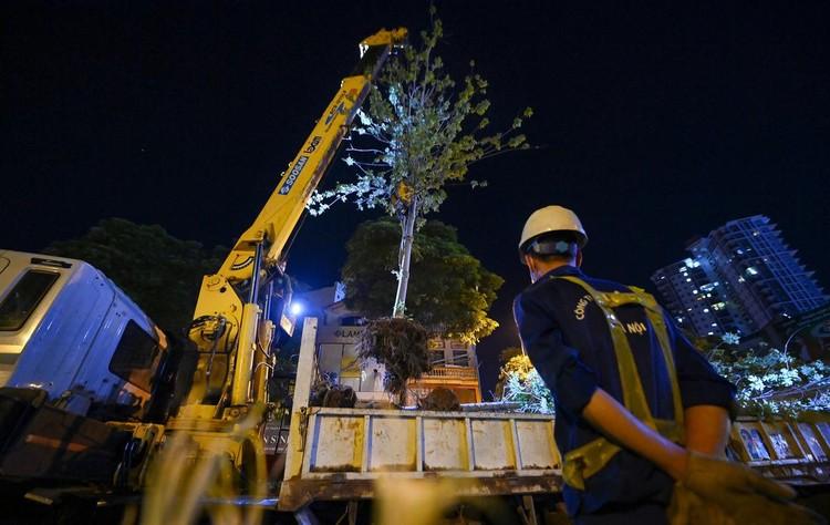 Trắng đêm đốn chuyển cây phong trên đường Trần Duy Hưng ảnh 1