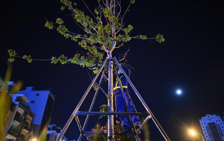 Trắng đêm đốn chuyển cây phong trên đường Trần Duy Hưng ảnh 3