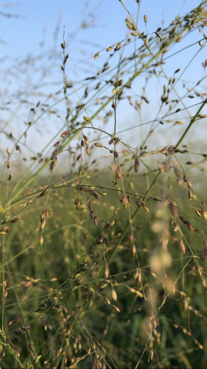Câu chuyện thật về những đồng cỏ Mombasa lớn nhất thế giới ảnh 5