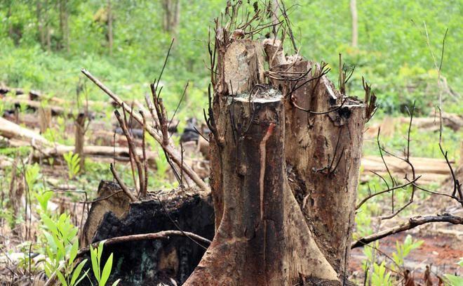"""Vụ rừng bị """"cạo trọc"""", kiểm lâm không hay: Khởi tố 2 bị can đầu tiên ảnh 1"""