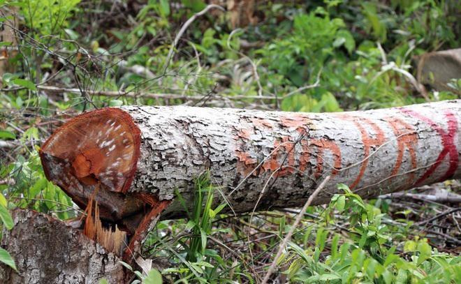 """Vụ rừng bị """"cạo trọc"""", kiểm lâm không hay: Khởi tố 2 bị can đầu tiên ảnh 2"""