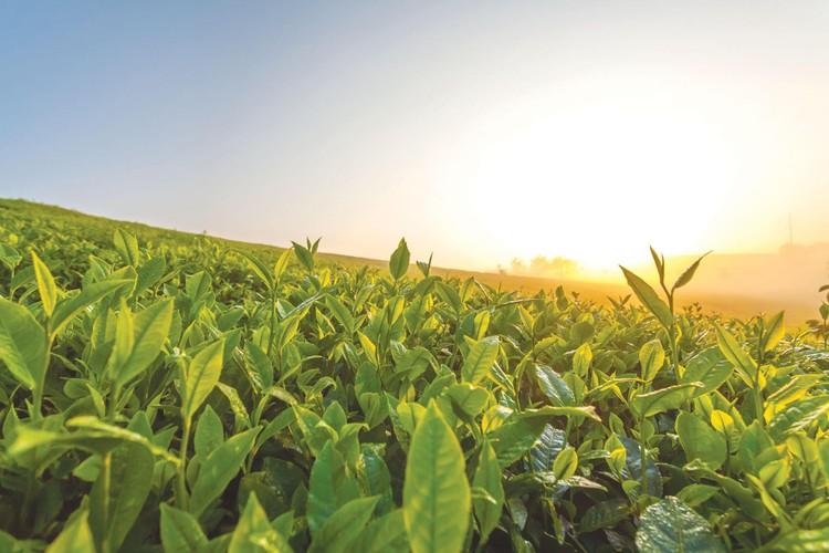 TH true TEA: Khám phá hành trình giữ trọn giá trị thật của trà tự nhiên ảnh 1